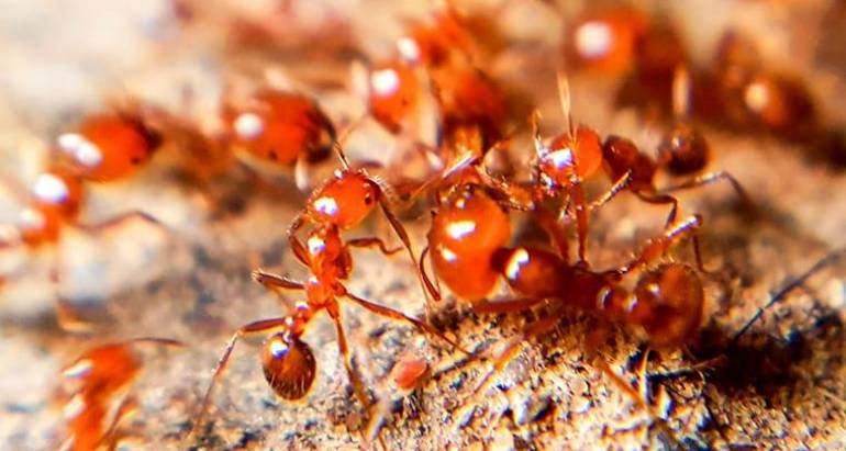 Fire Ant Program
